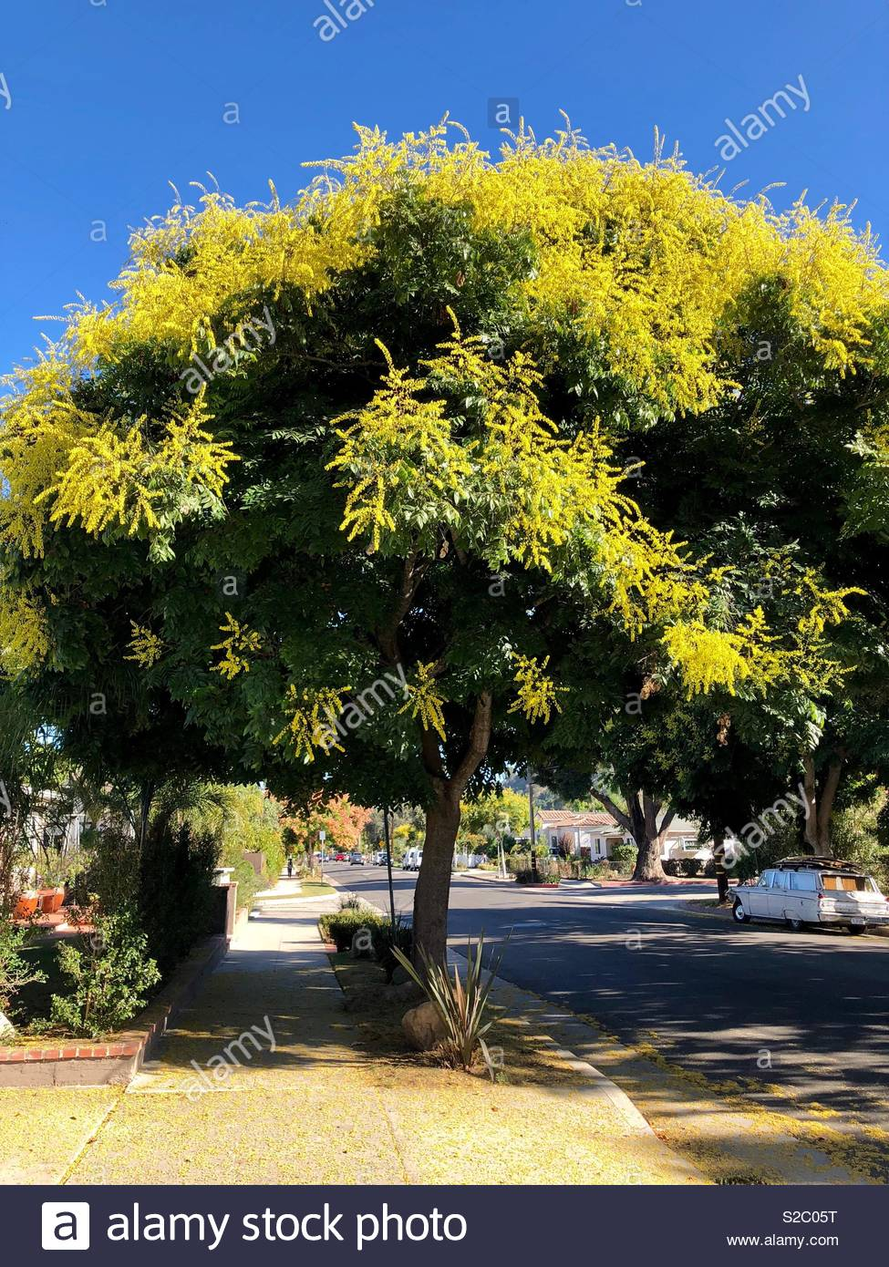 Blooming Acacia Tree In Santa Barbara California Stock Photo