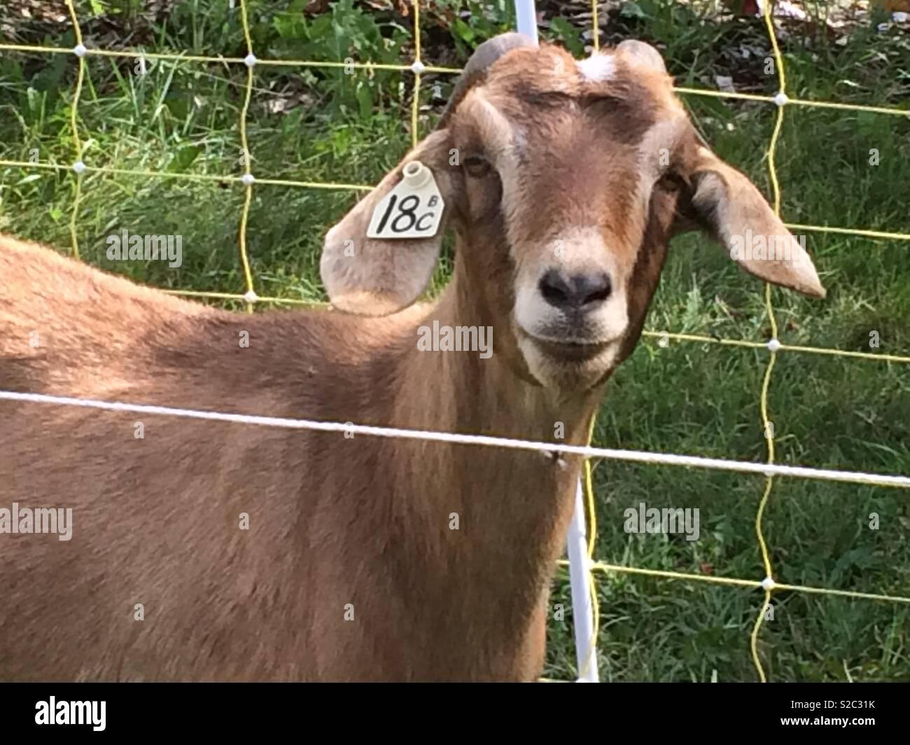 Kiko Goat Stock Photos & Kiko Goat Stock Images - Alamy