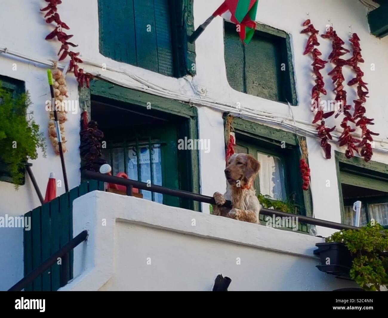 Dog leaning over balcony - Stock Image