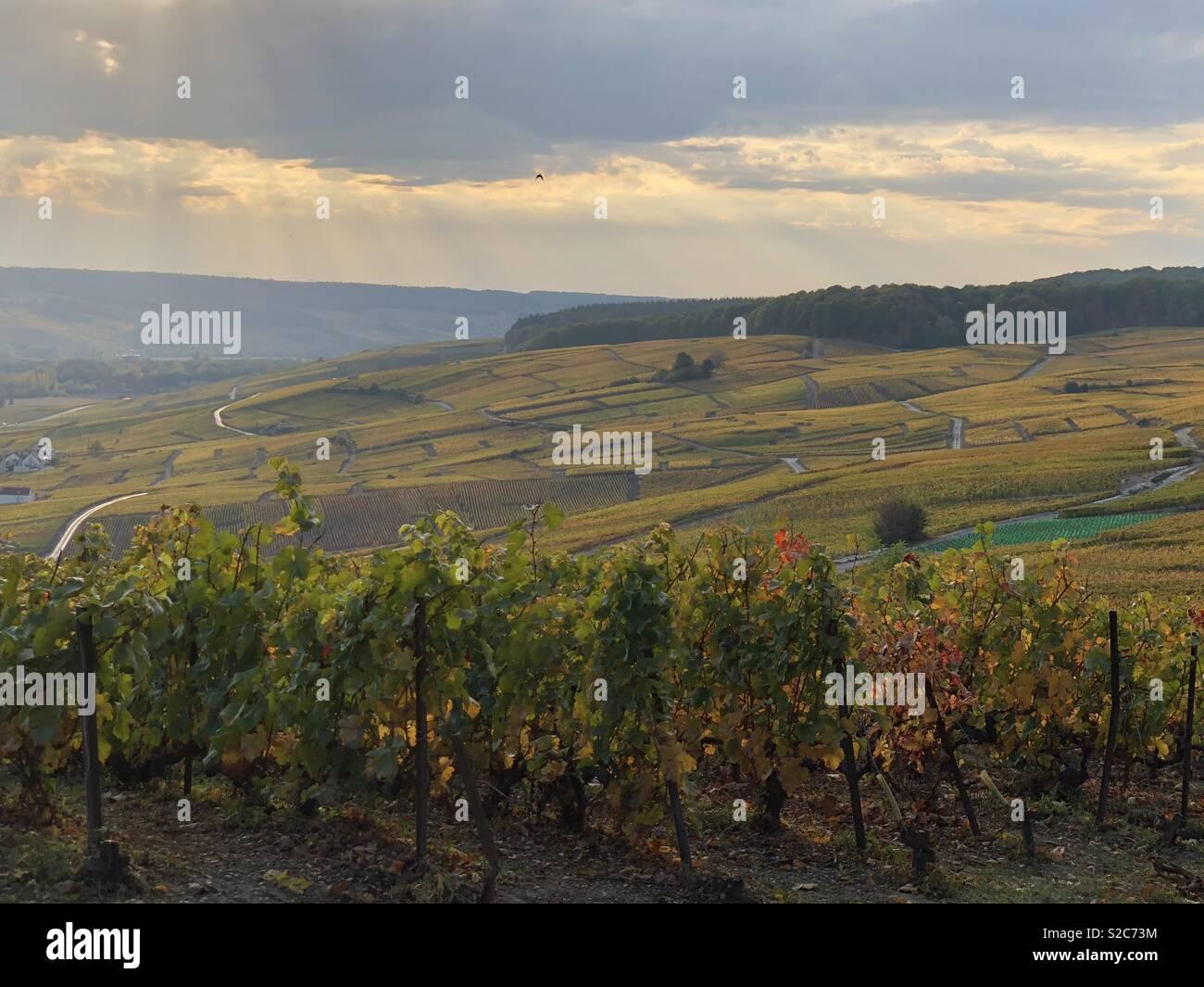 Champagne vineyard - Hautvillers- falls - Stock Image