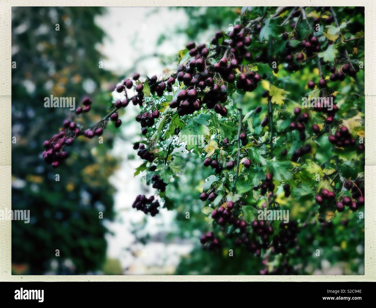 Autumn berries in Cambuslang Scotland - Stock Image