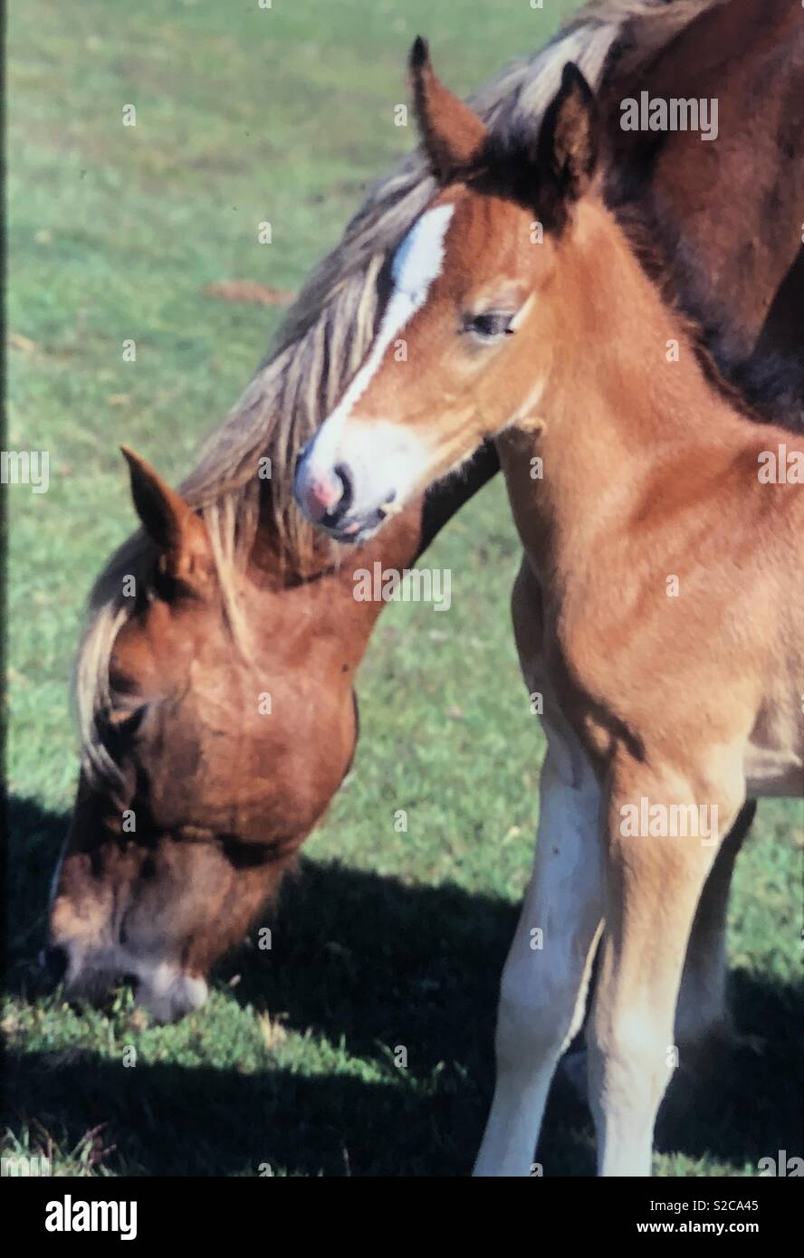 Wild horses mate and foal are tame and roam in New Forest England Stock Photo