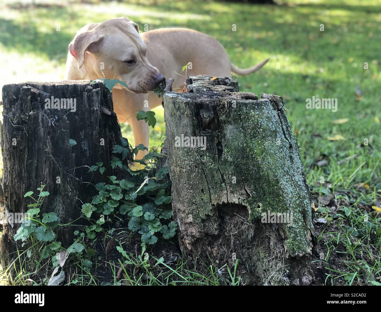A sweet red nose pitbull nibbles a tree stump on a warm Autumn morning. - Stock Image