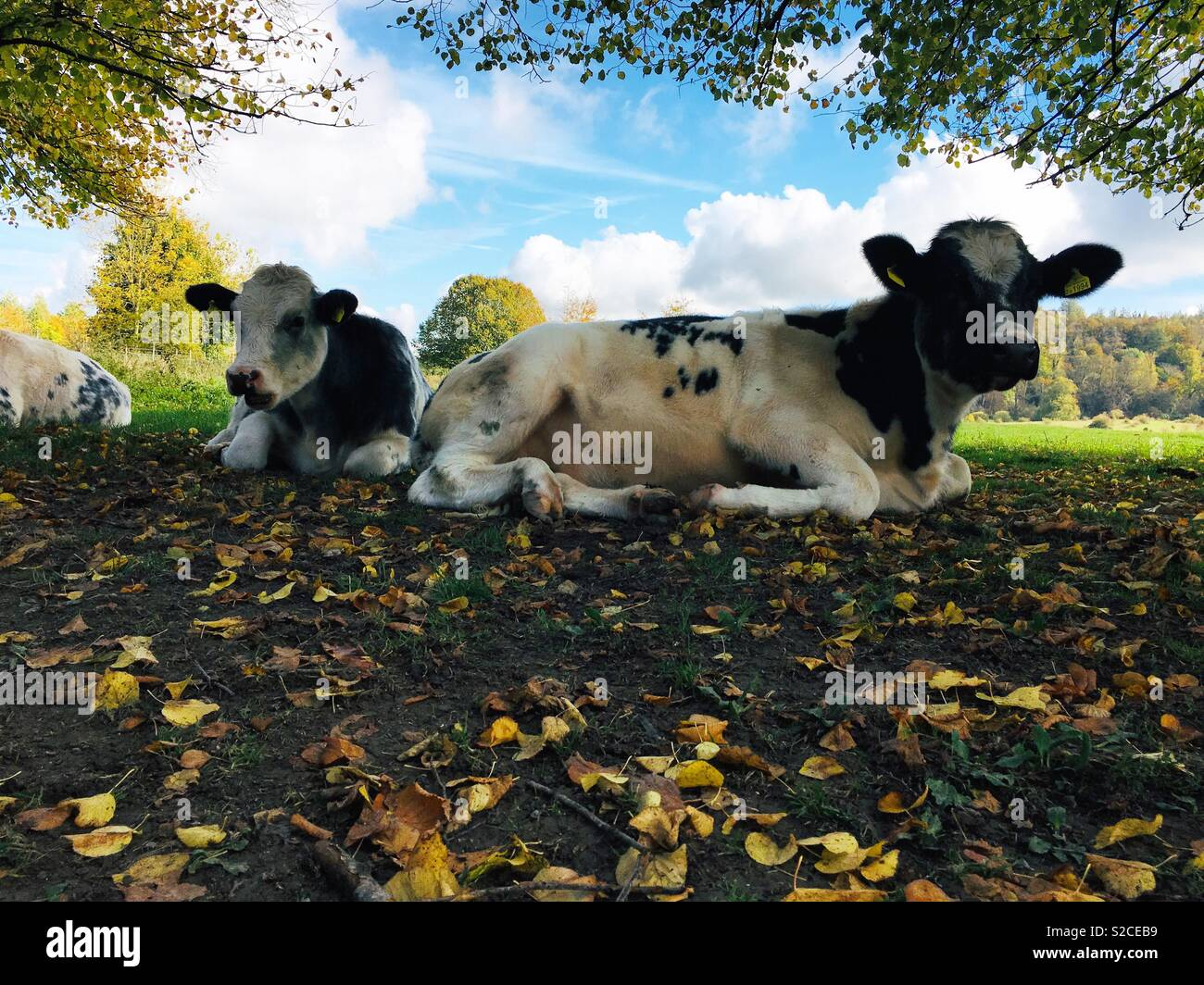 Cows snoozing in the sunshine in Hertfordshire - Stock Image