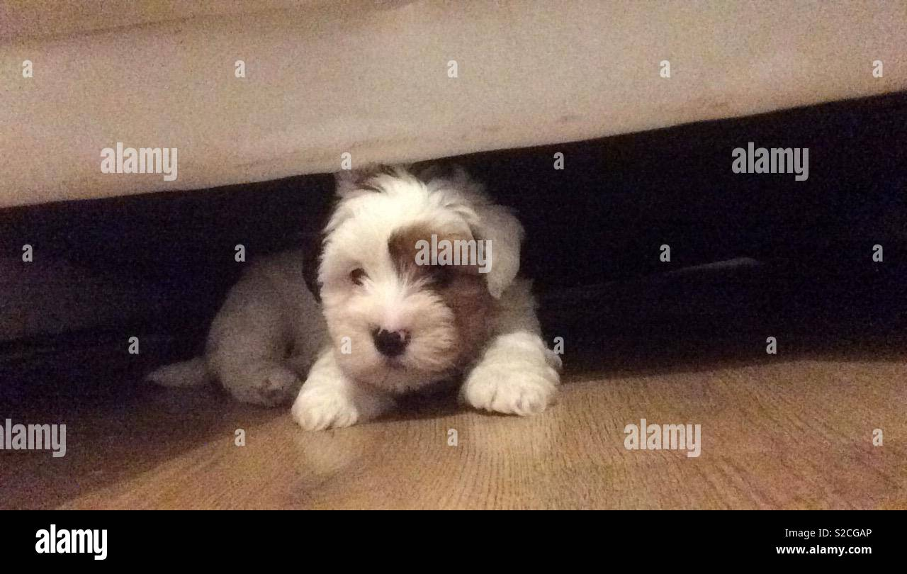 My Jack Russell X Shih Tzu X Maltese Puppy Stock Photo 311292206