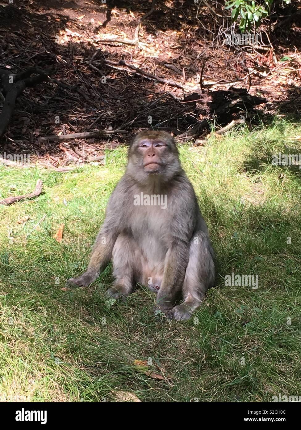 Contemplating monkey - Stock Image
