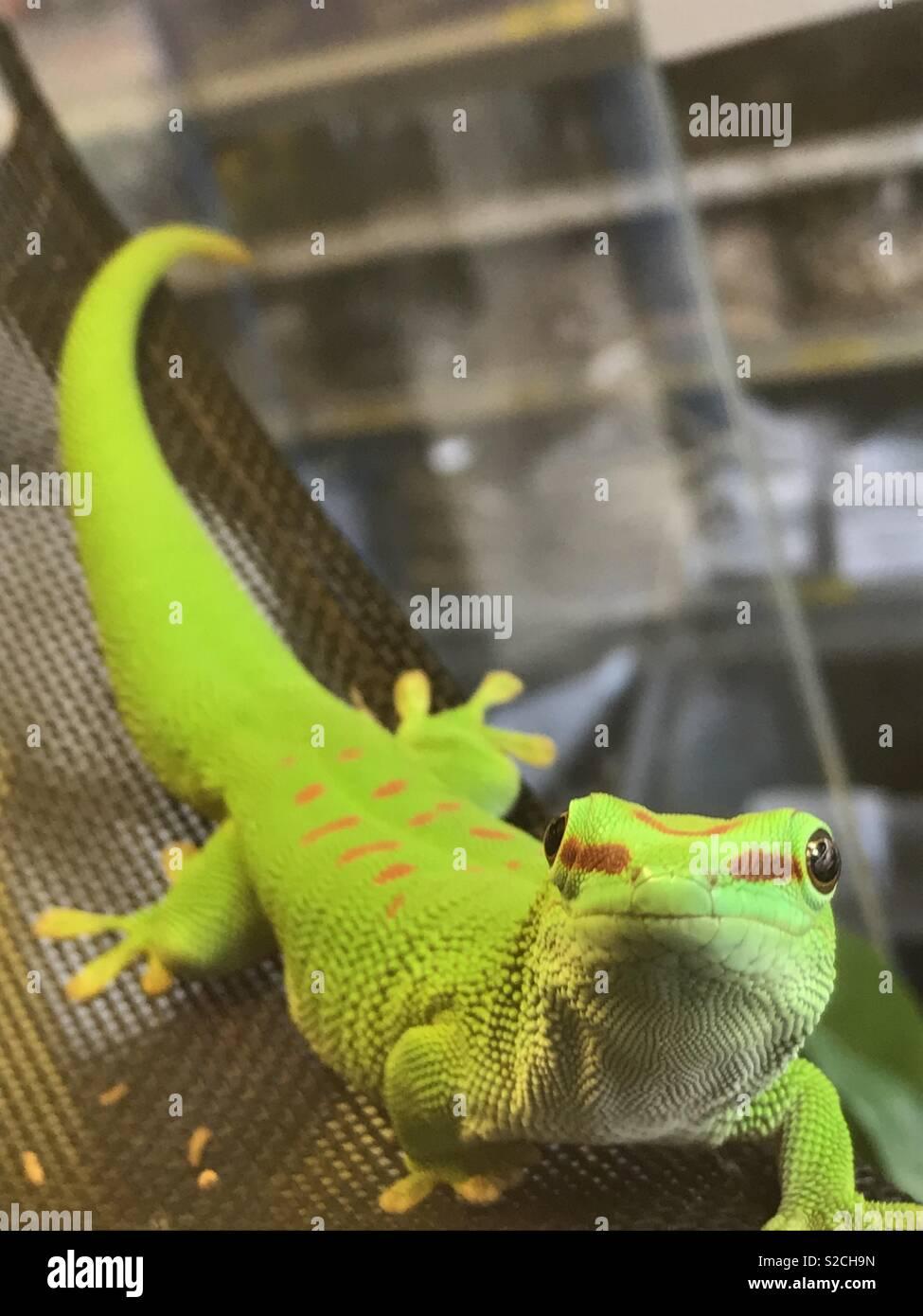 Madagascan day gecko - Stock Image