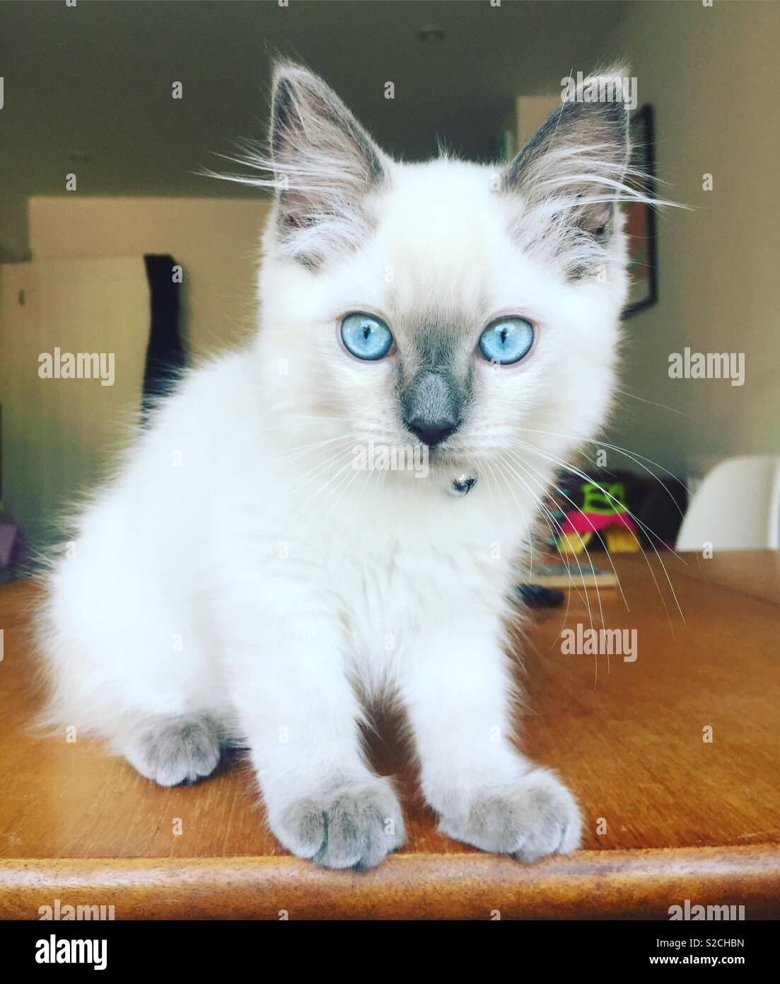 Blue Eyed Ragdoll Cat High Resolution Stock Photography And Images Alamy
