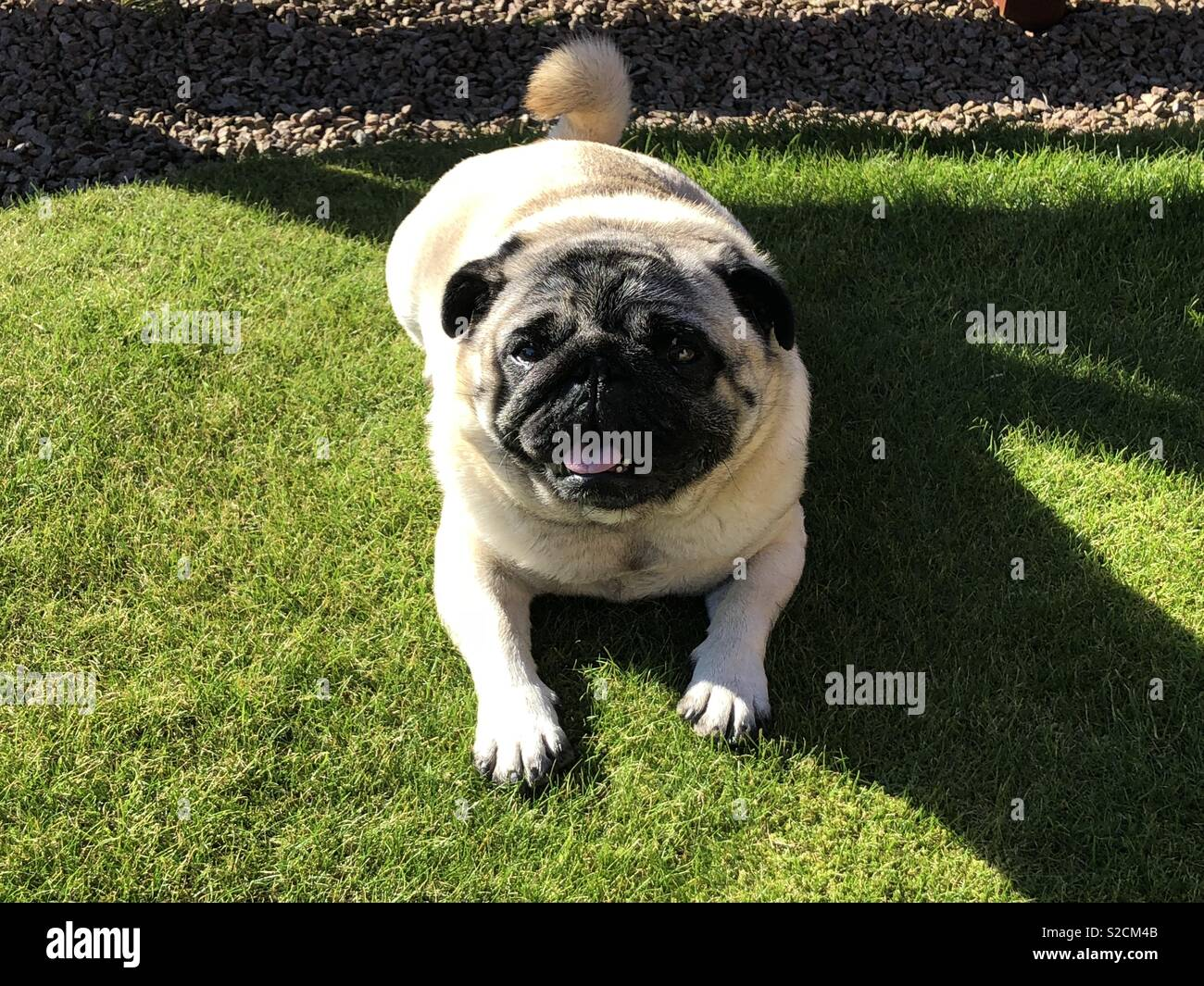 Sunbathing pugster - Stock Image