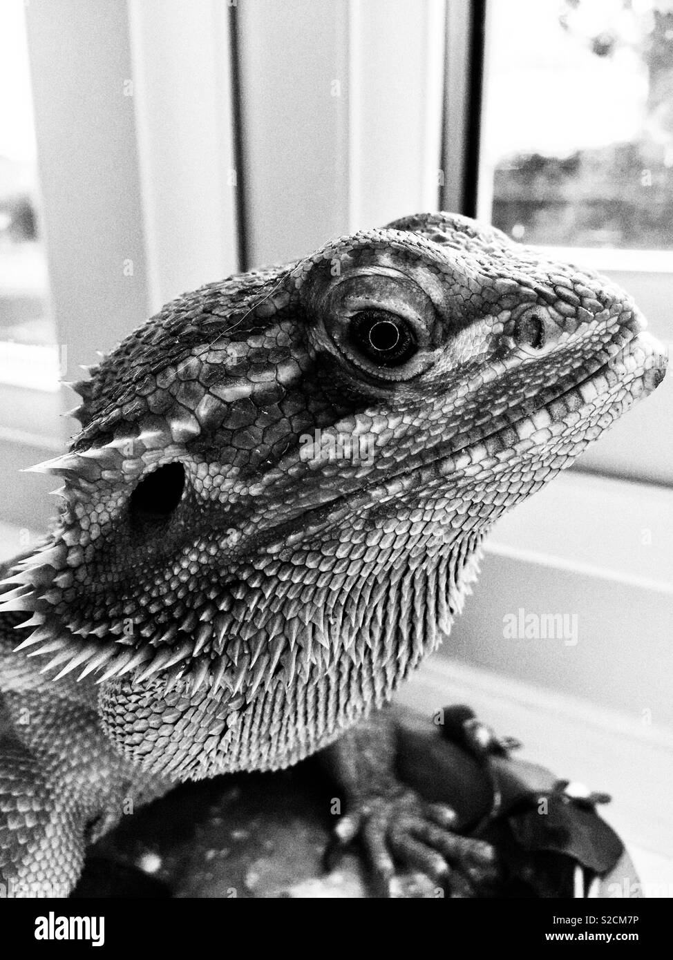 Bearded dragon black and white - Stock Image