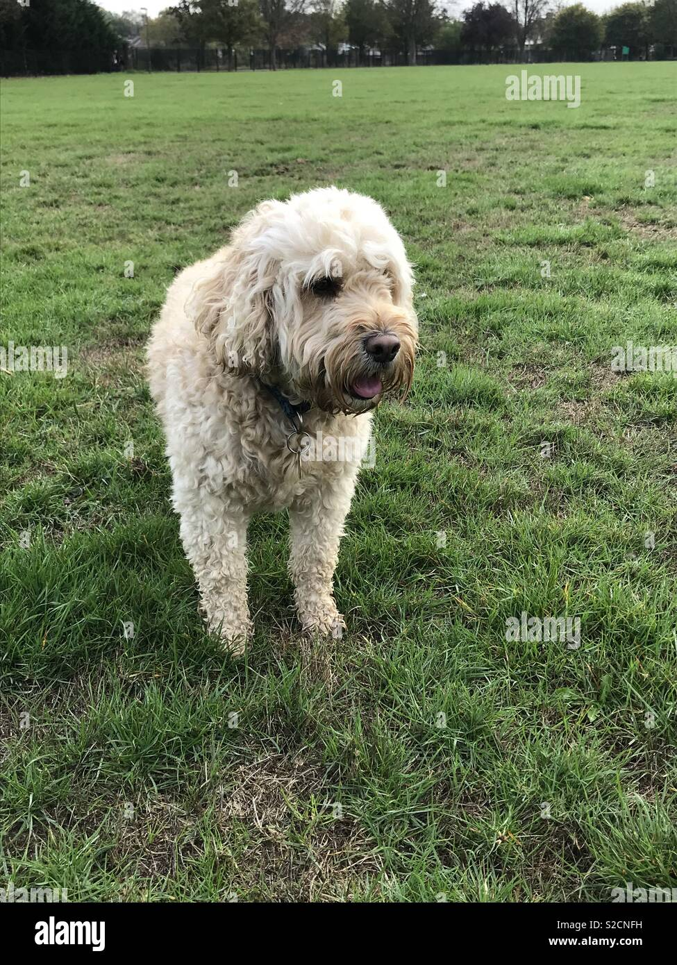 Flint the apricot cockapoo in the Park Stock Photo