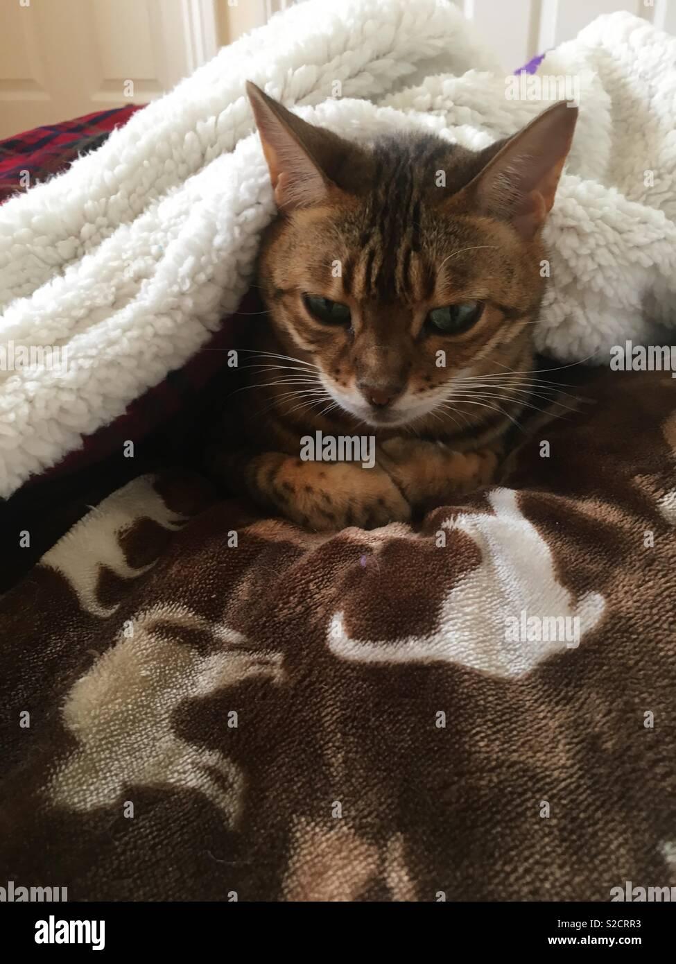 bengal cat images.html