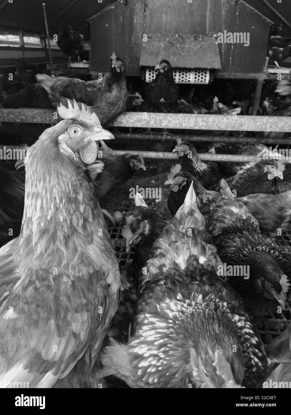 Hens in monochrome - Stock Image