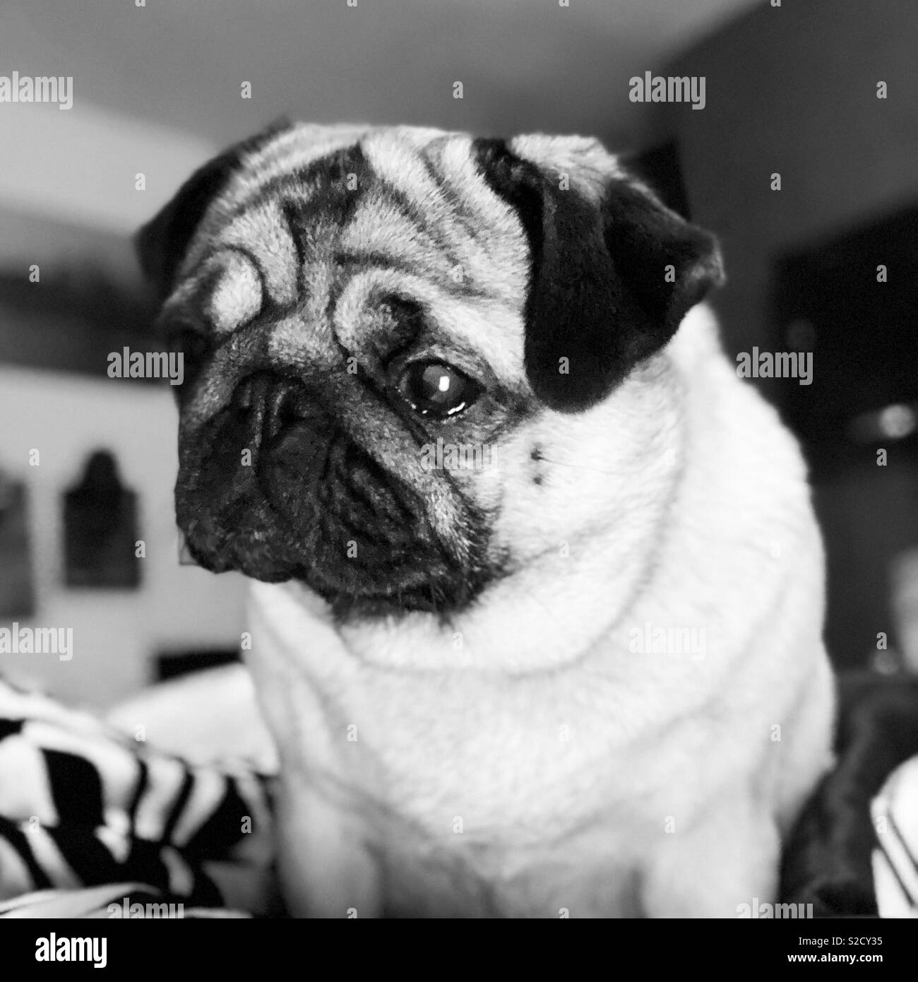 Black and white photo of a pug - Stock Image