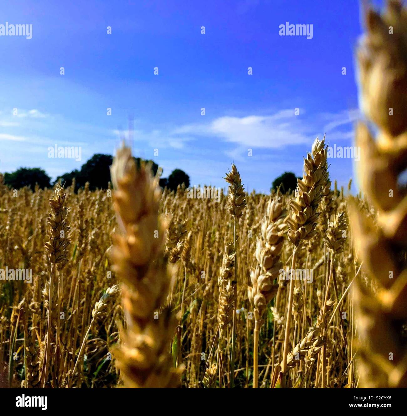 Corn field in middle of a hot summer 2018 - Stock Image