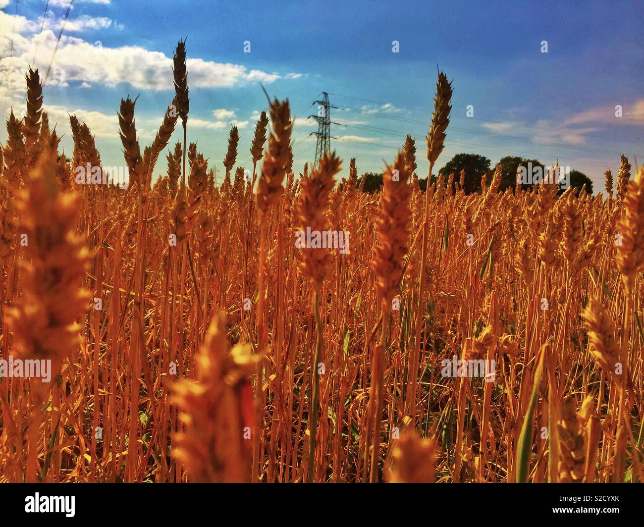 Corn field in Winwick summer 2018 - Stock Image