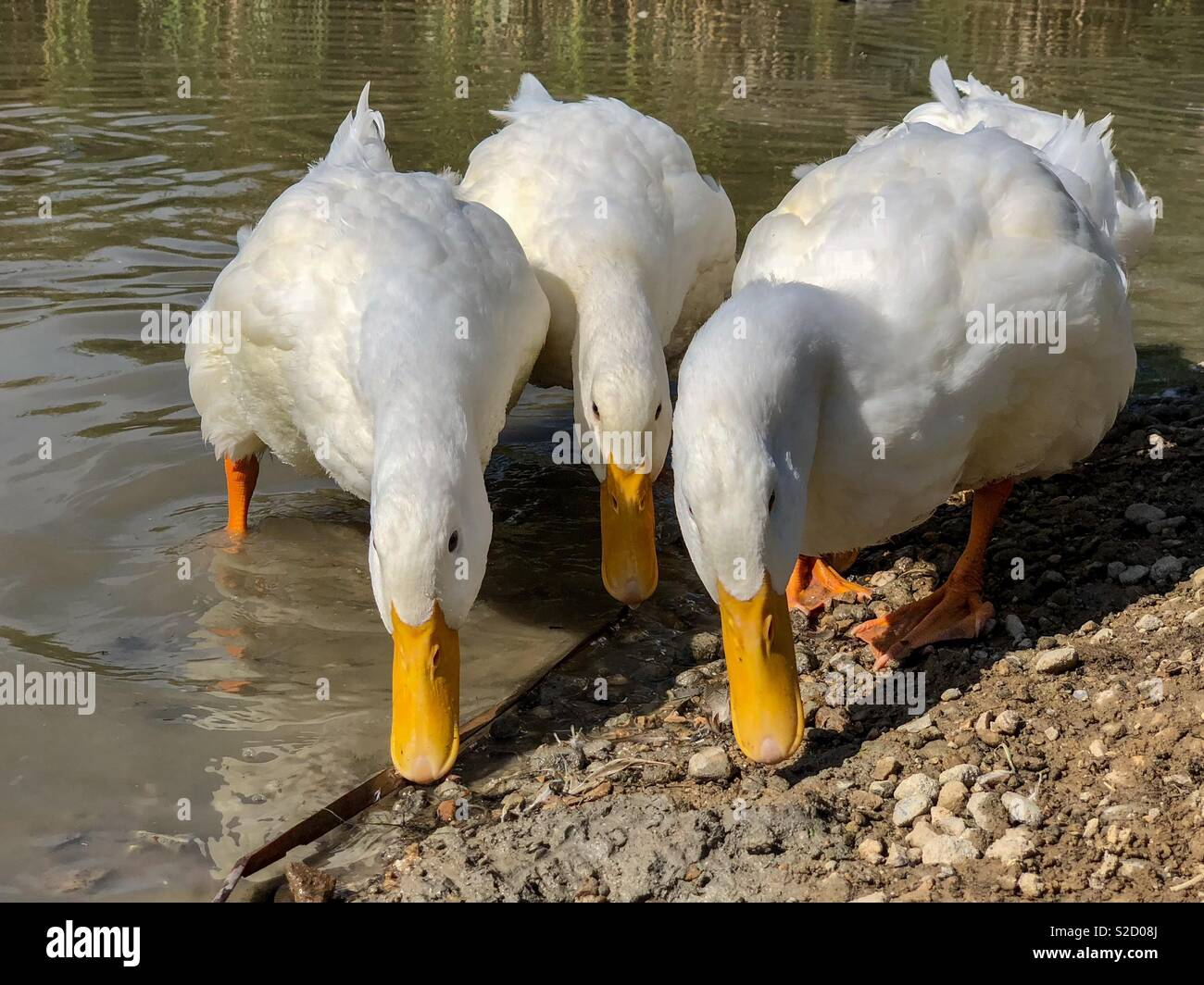 Heavy white ducks with three beams together search for food - Stock Image