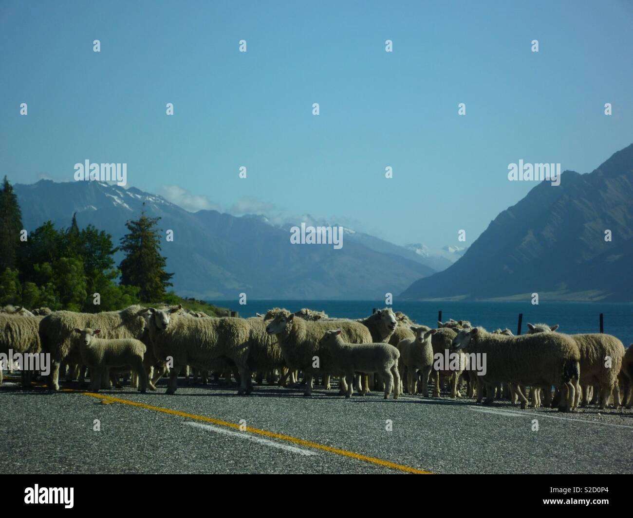 Roadblock New Zealand style! - Stock Image