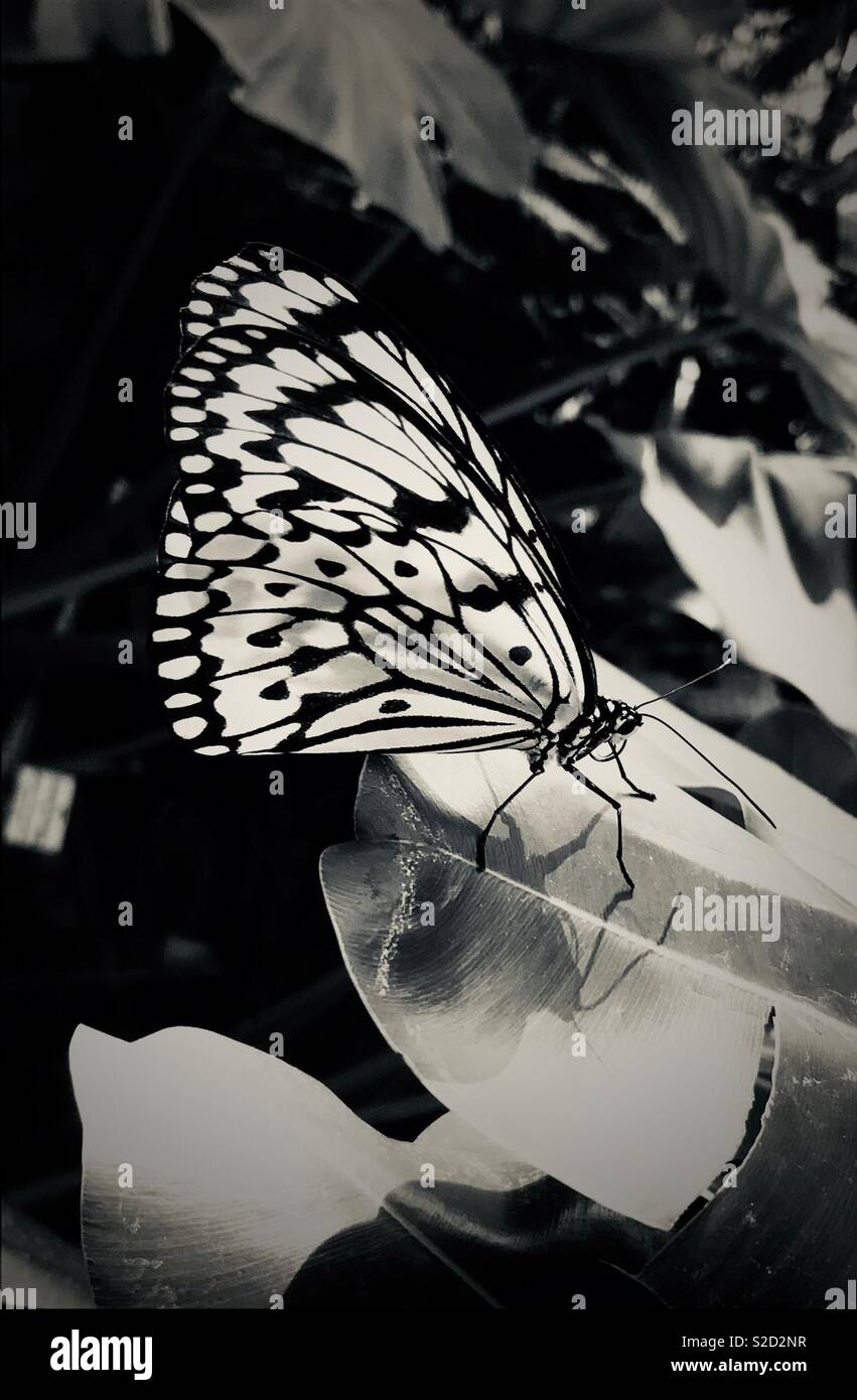 Black and white exotic butterfly rice paper or paper kite butterfly