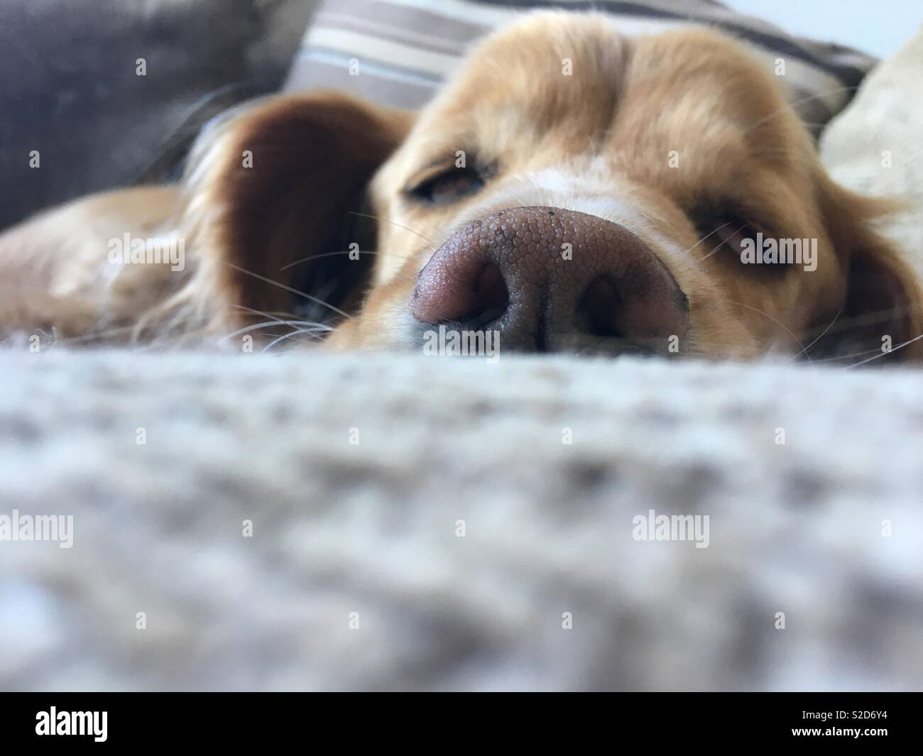 Lazy dog - Stock Image