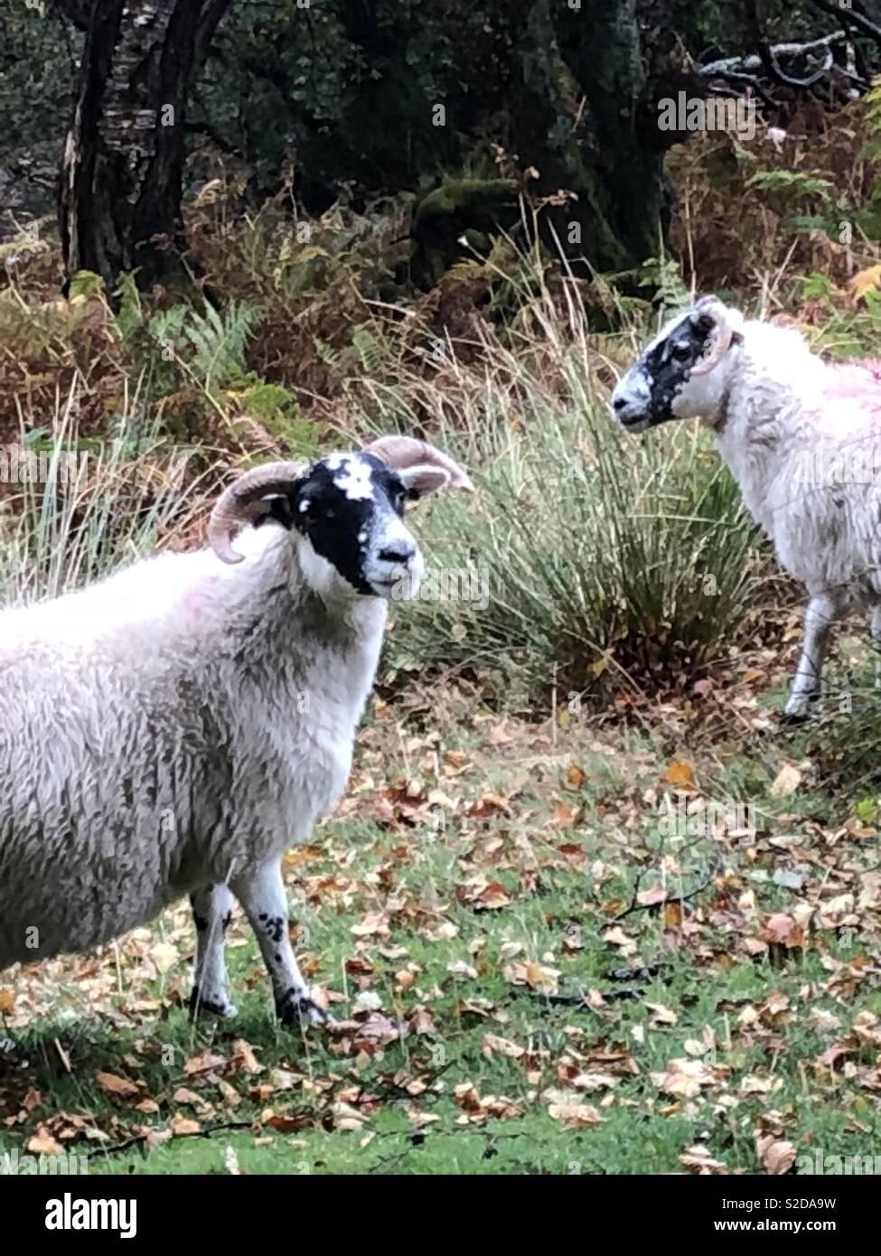 Scottish sheep on rainy day - Stock Image