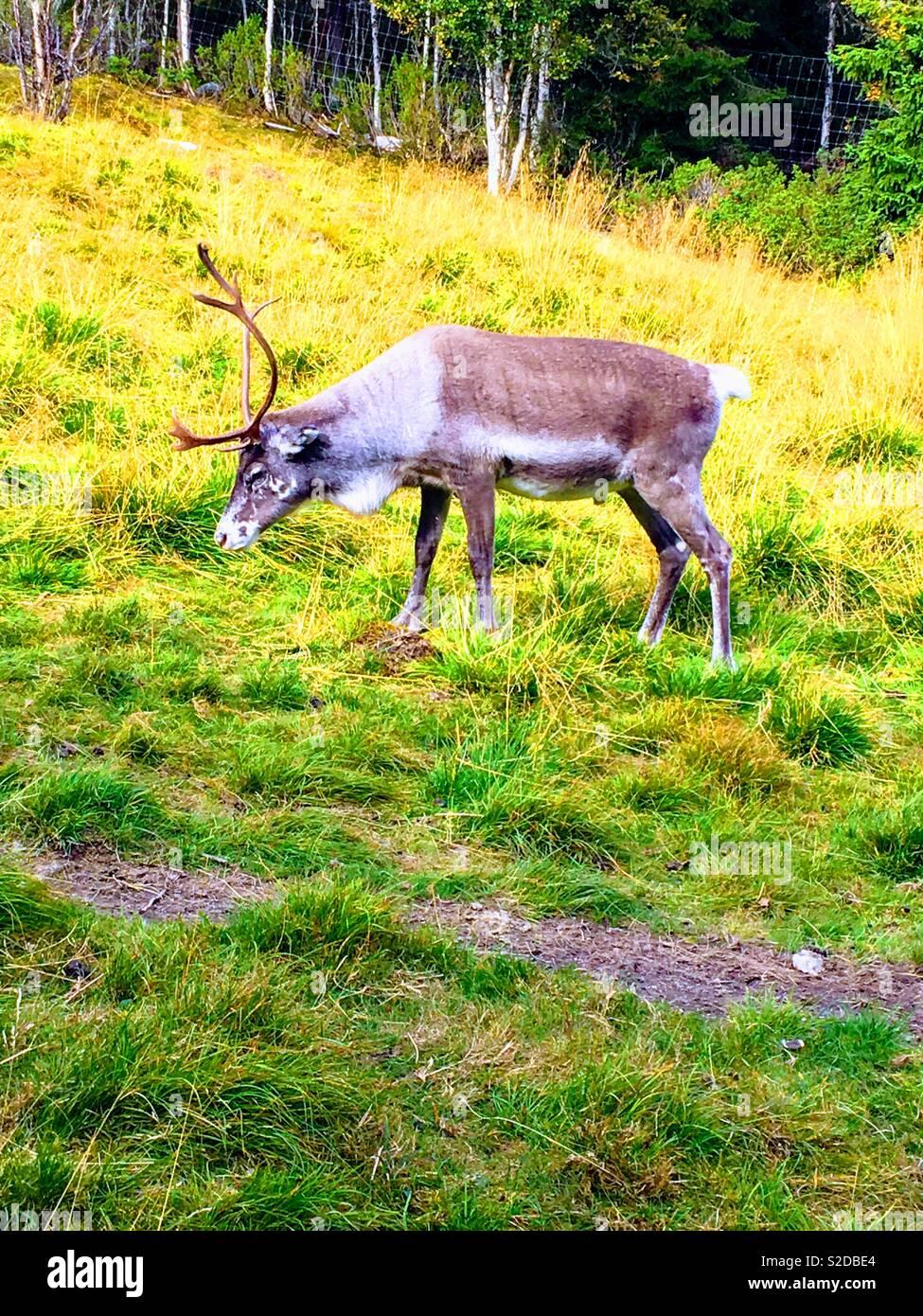 Reindeer,Rangifer tarandus, Grövelsjön' Dalarna, Sweden. - Stock Image
