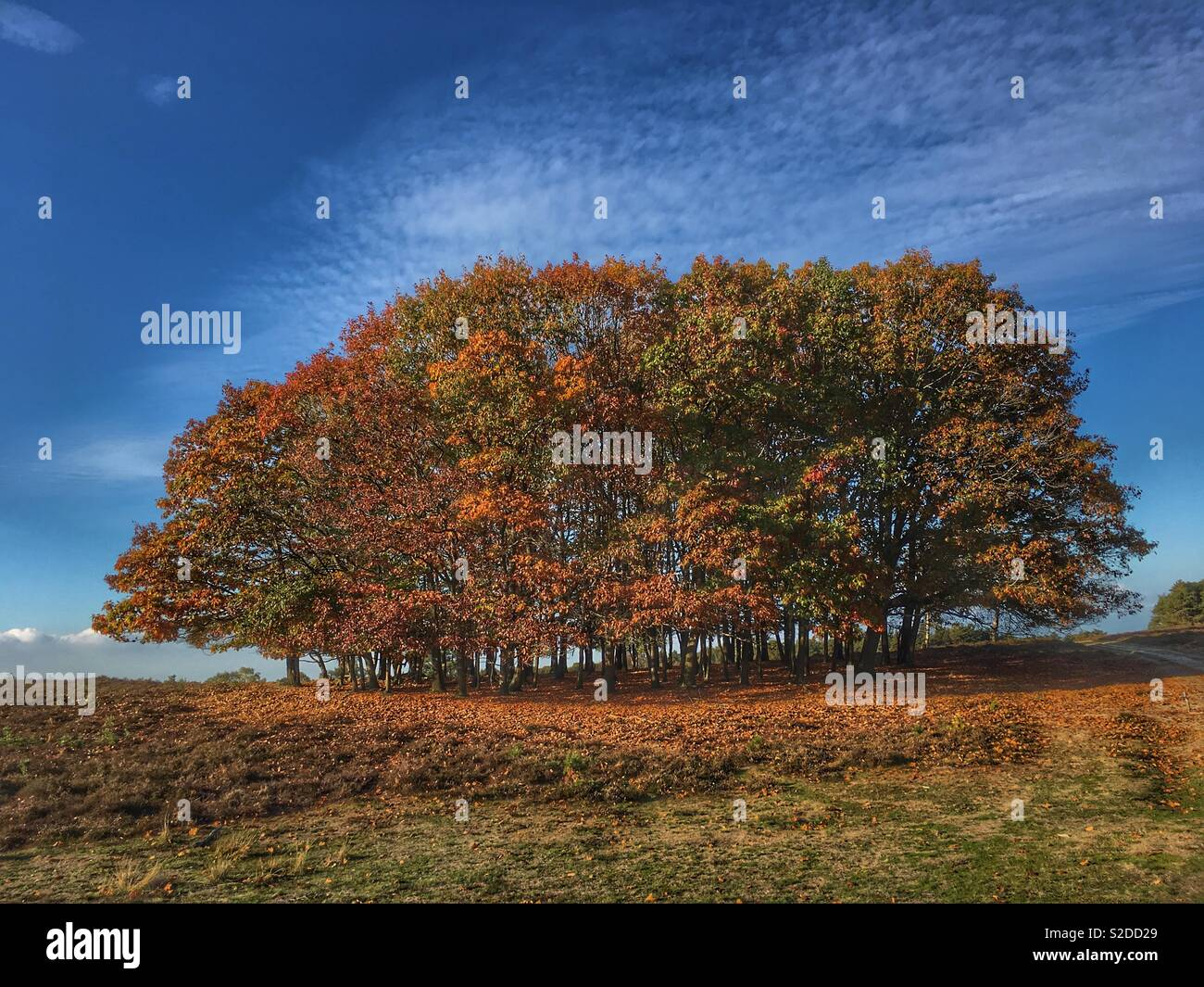 Autumn arrived. Beech and chestnut trees letting it all go, covering the heather with their leaves. - Stock Image