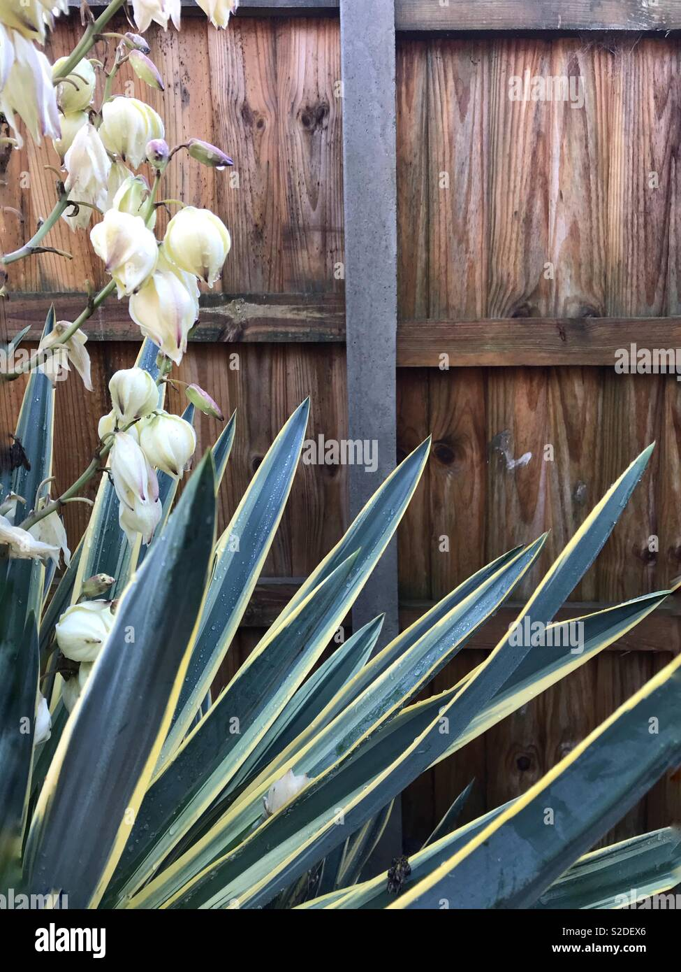 Flowering cordyline yucca with wooden fence and concrete post Stock Photo
