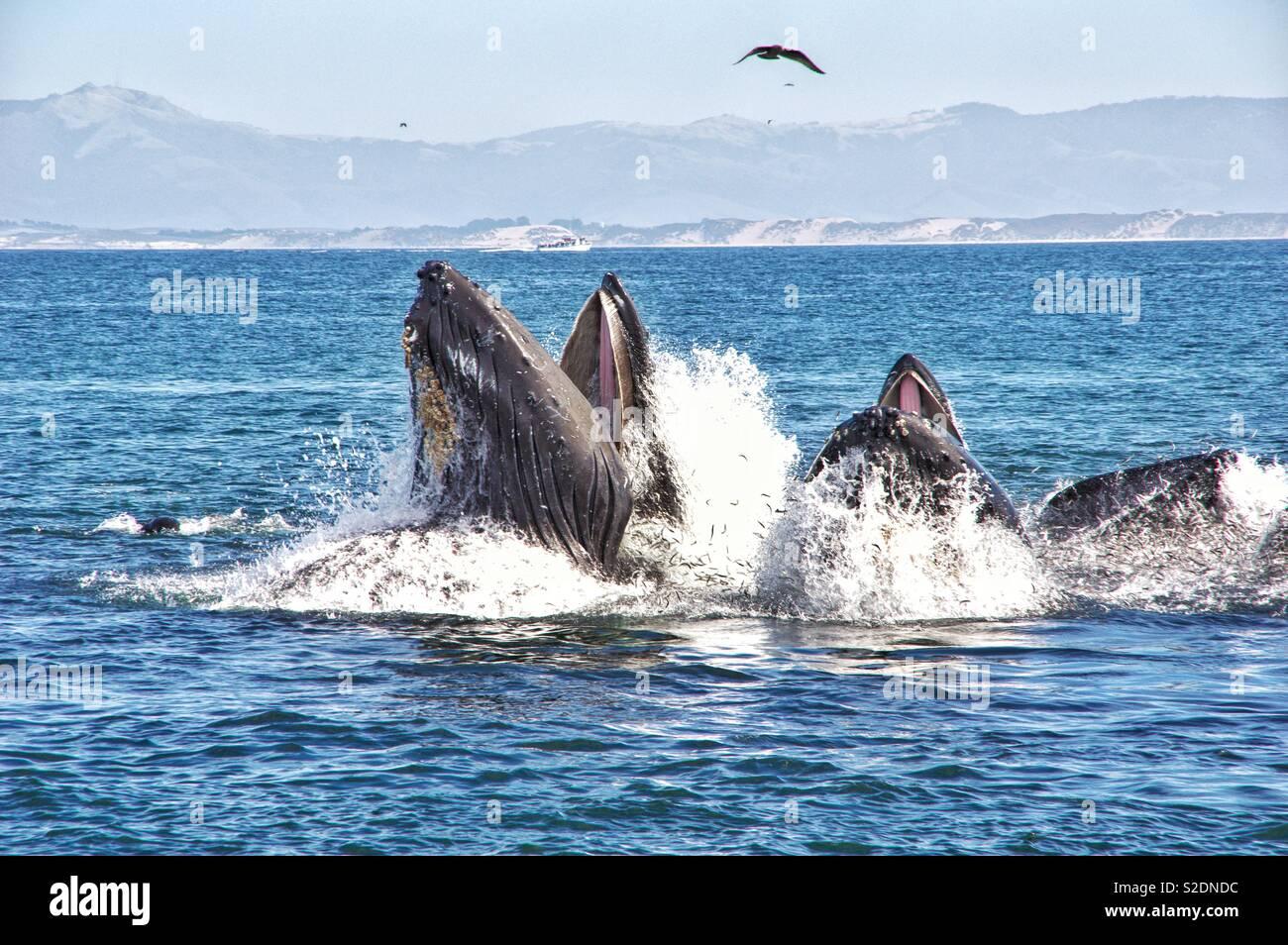 Humpback Whale Feeding - Stock Image