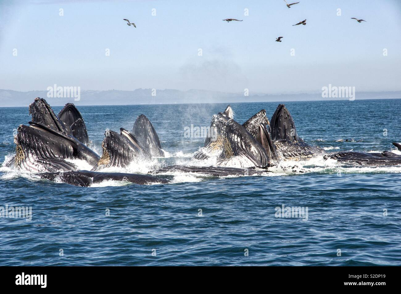 Humpback Whale Feeding Stock Photo