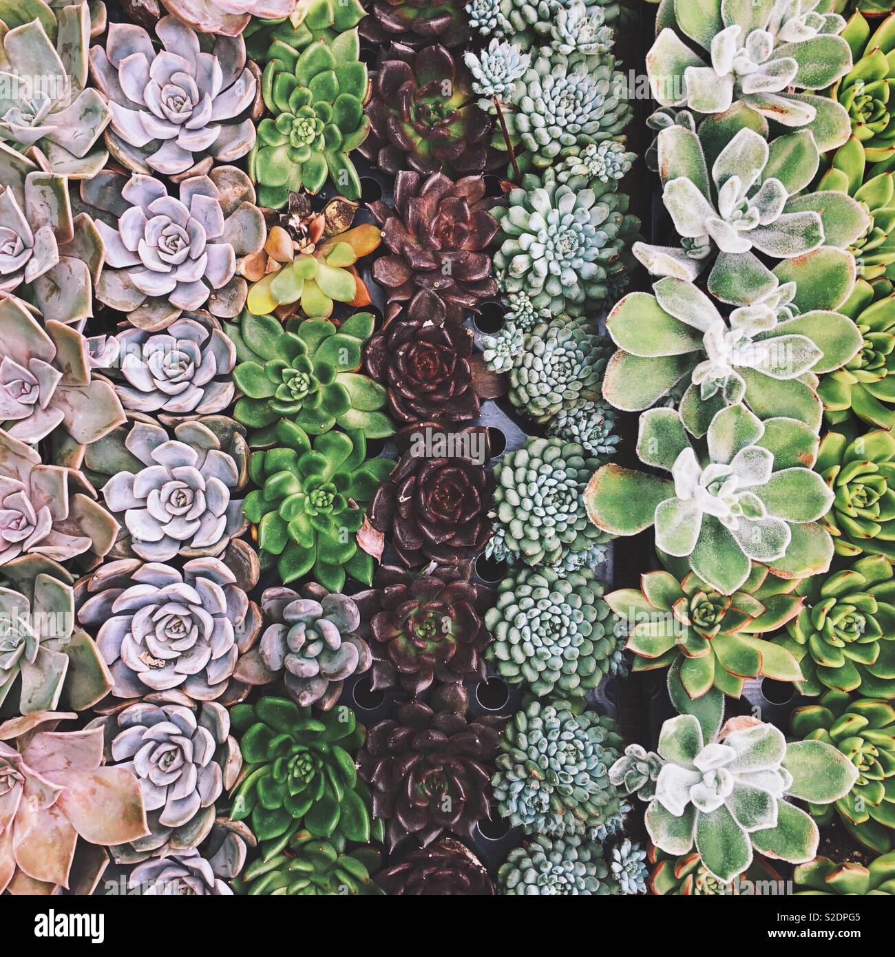 Succulents in Rows Stock Photo