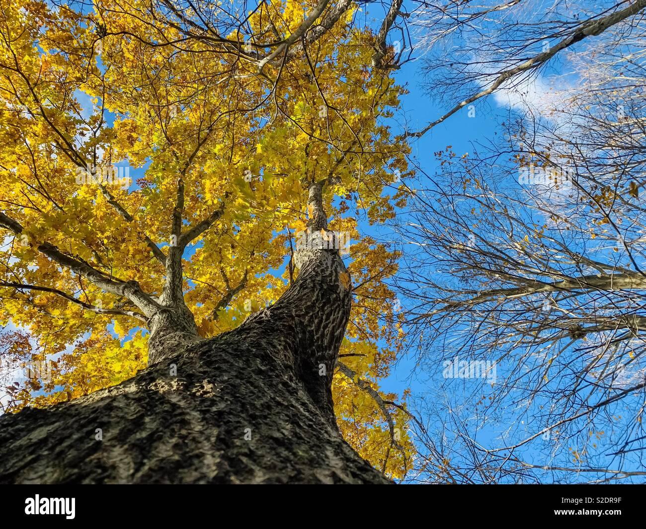 Yellow Maple Tree Bellow - Stock Image