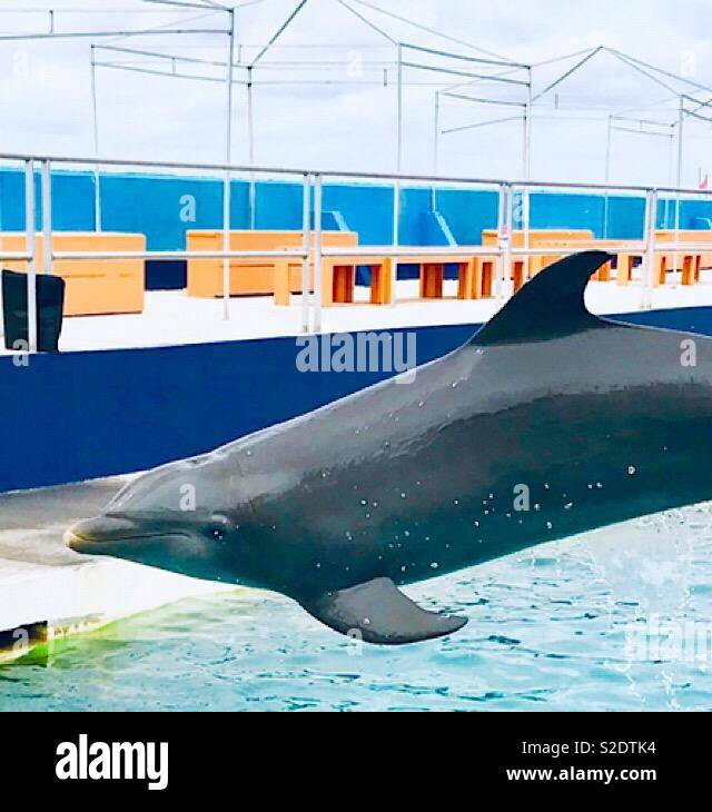 Dolphin leaping through the air - Stock Image