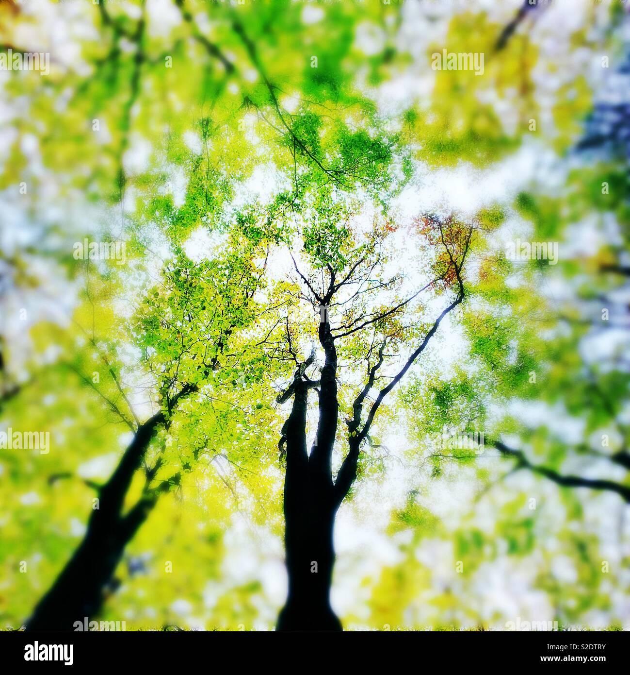 Looking up towards the tree canopy Stock Photo