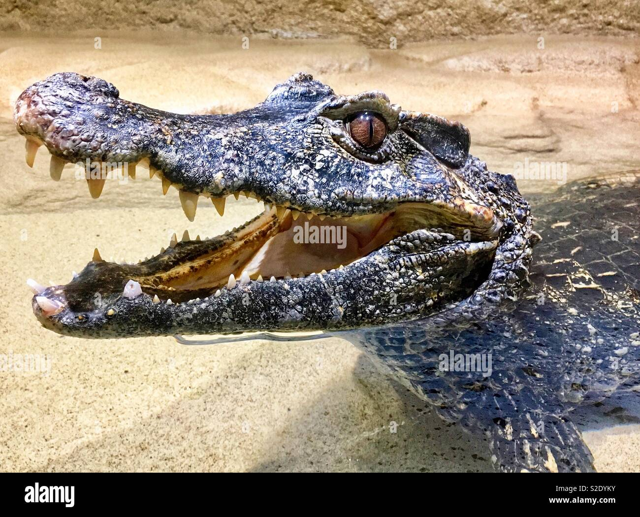 Caiman with open mouth showing teeth while laying in water - Stock Image
