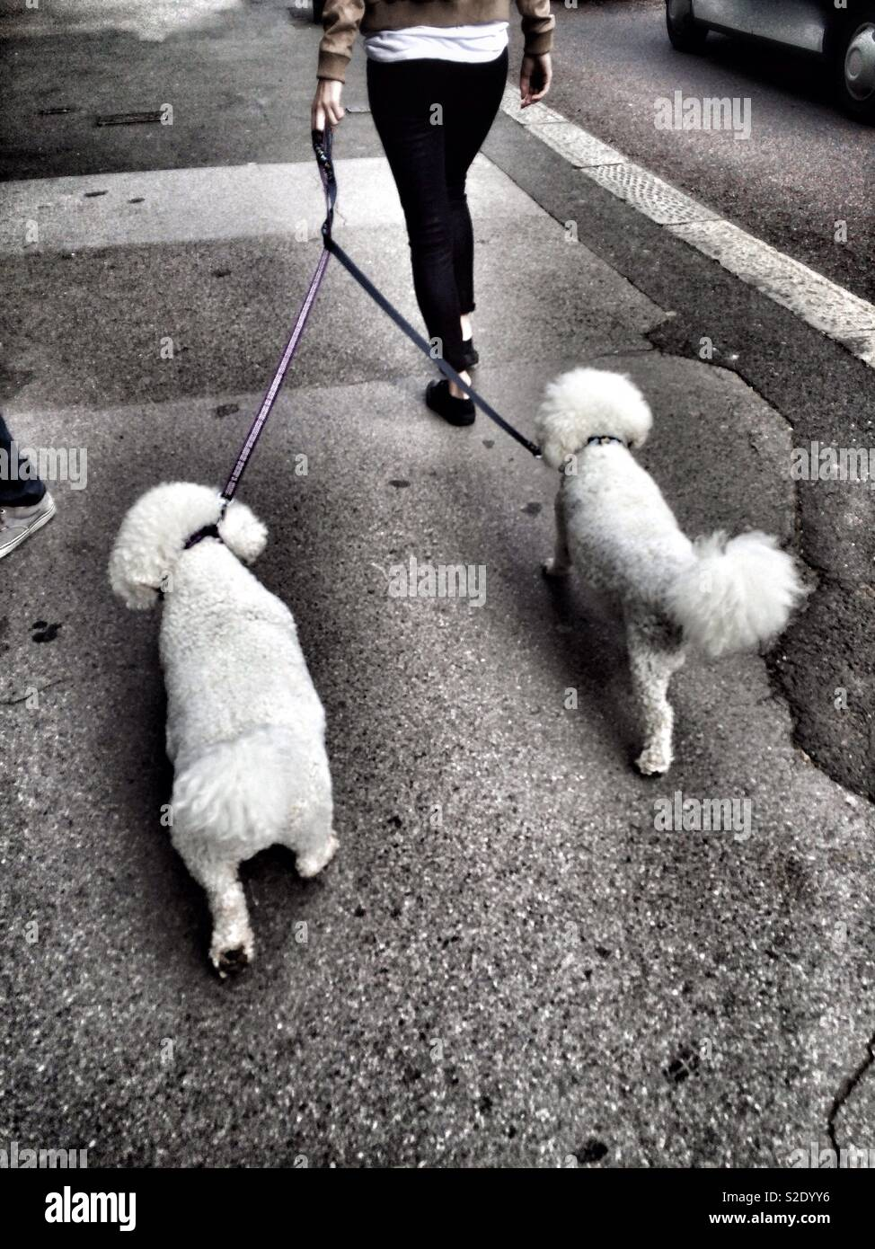 Two toy poodles out for a walk - Stock Image