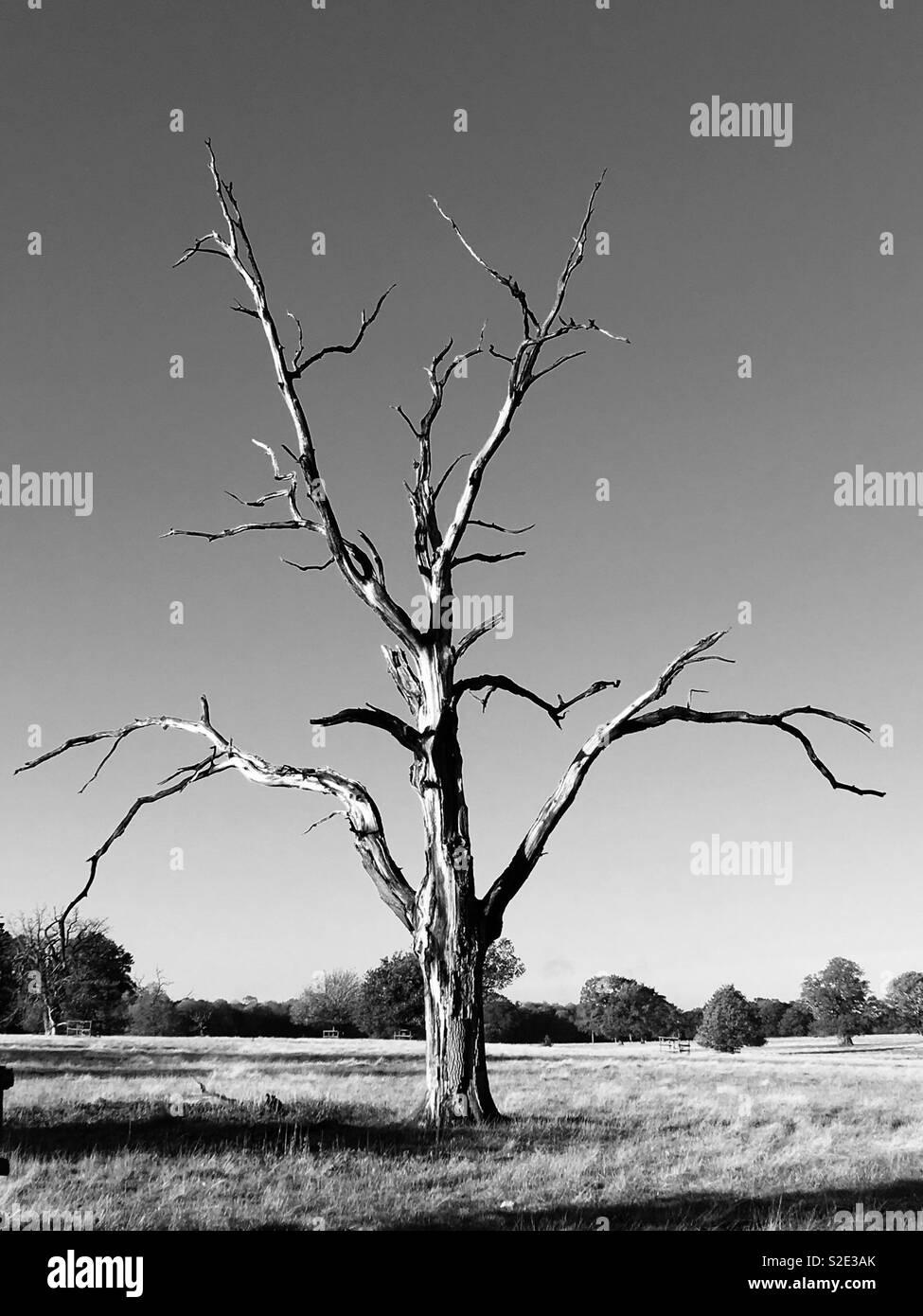 Monochrome dead tree in a park - Stock Image