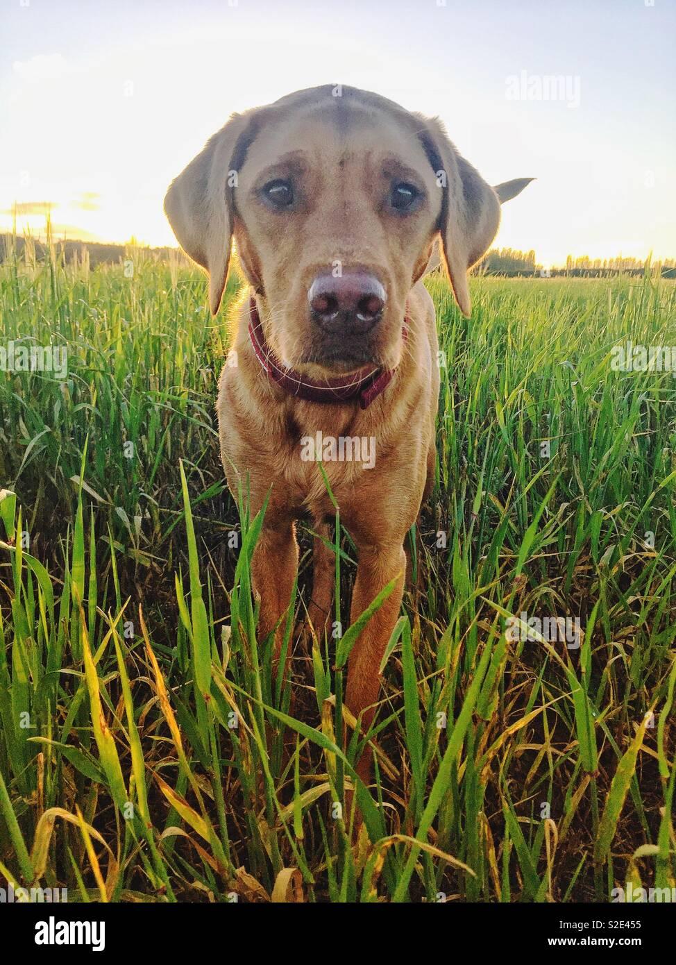 A yellow Labrador retriever gun dog standing in a grassy field - Stock Image