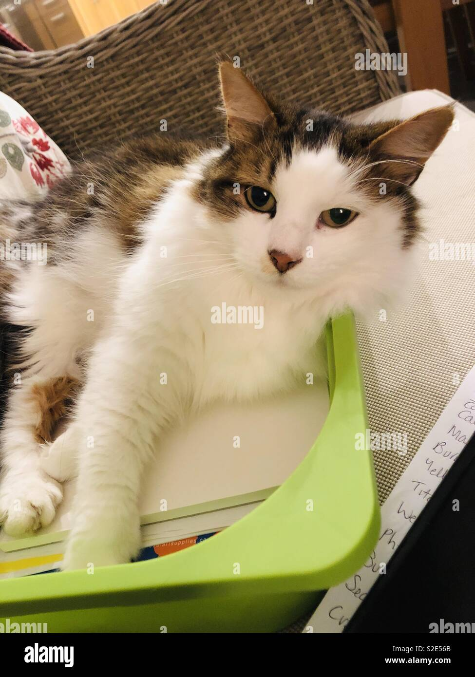 When the cats lying on your homework - Stock Image