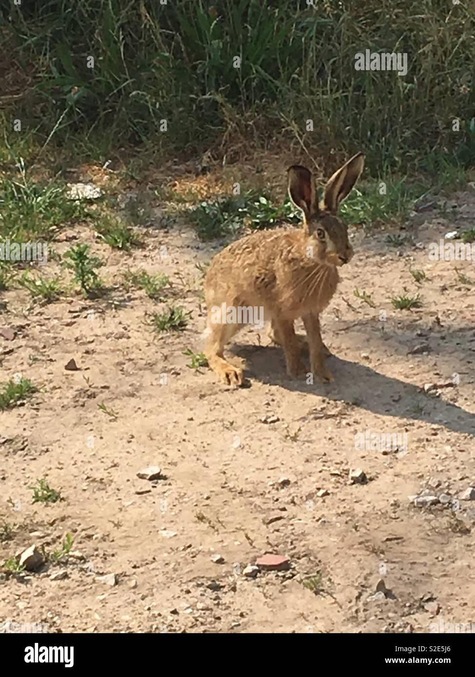 Hare in Sefton - Stock Image