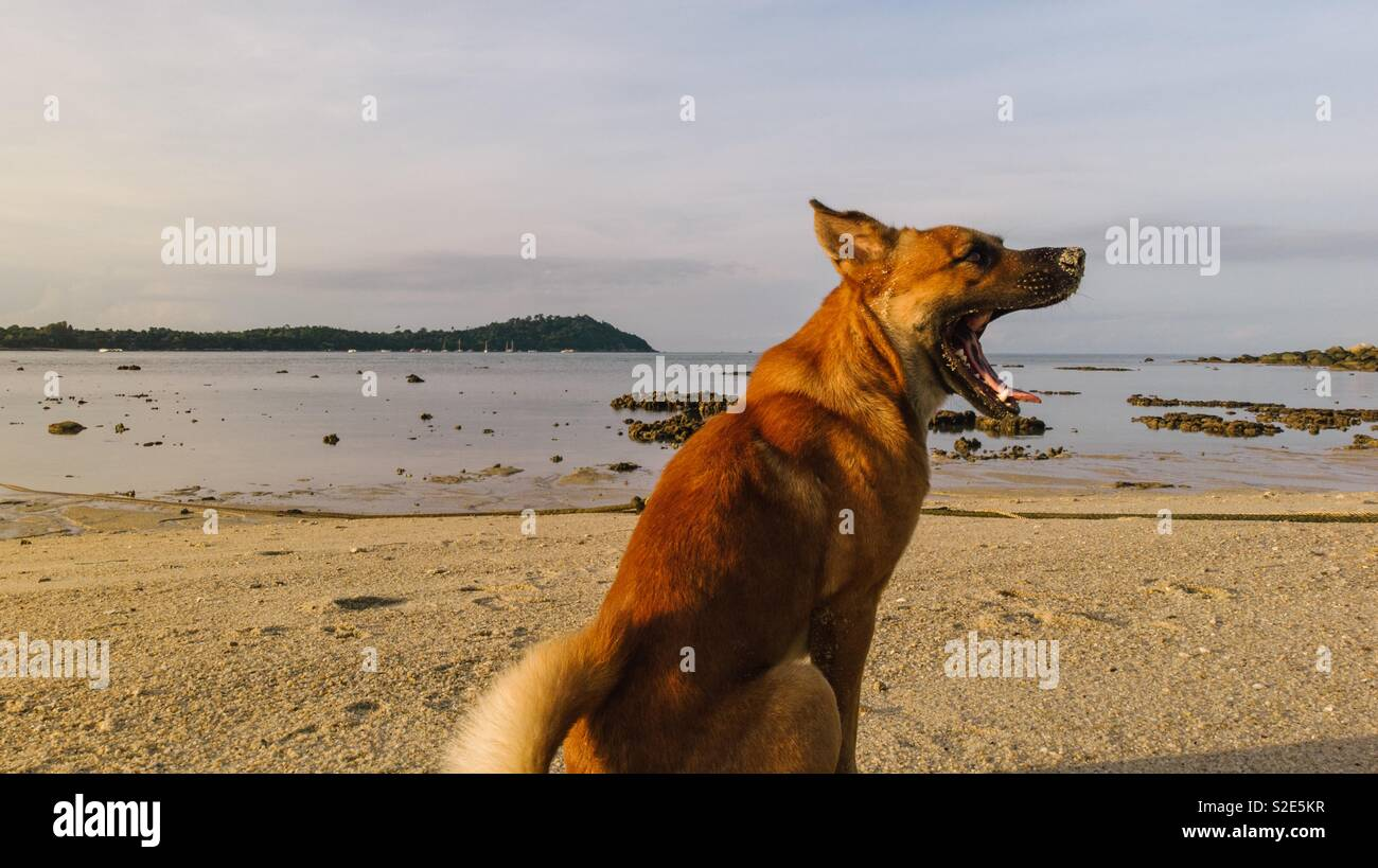 Dog yawning at sunrise - Stock Image