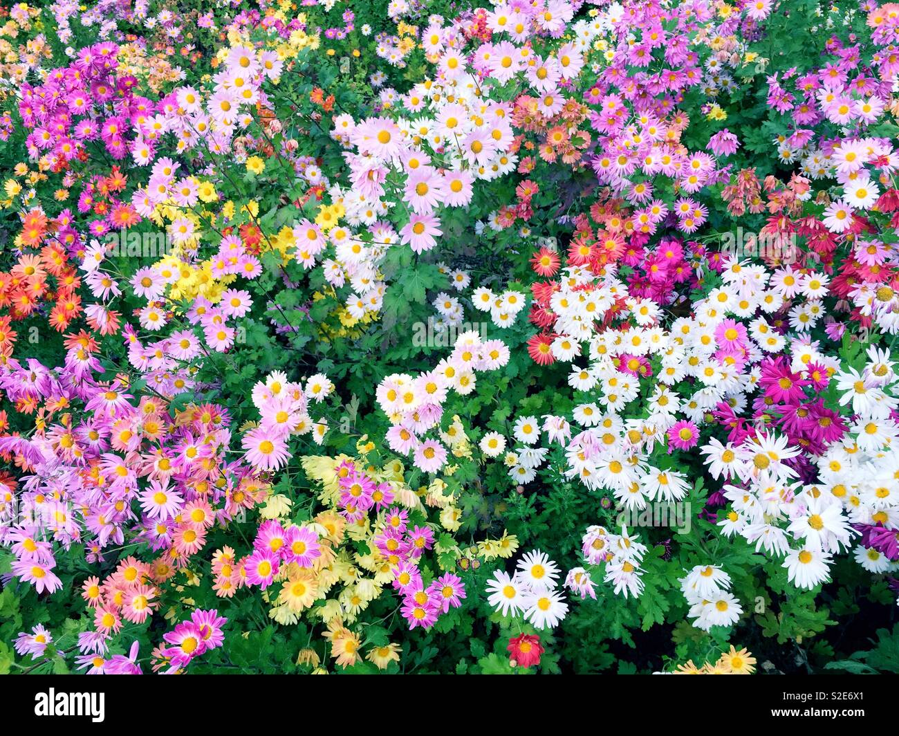 A field of Korean mums in the conservatory garden, Central Park, NYC, USA - Stock Image