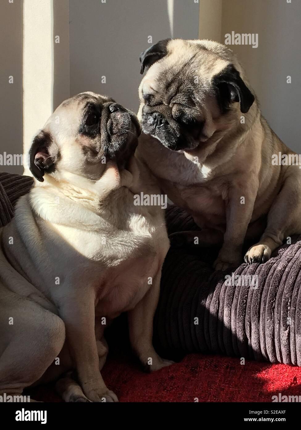 Brotherly pug love - Stock Image