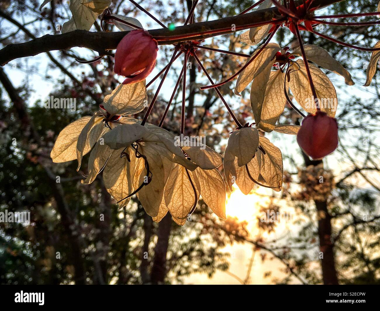 Tender sunrays are going through the transparent leaves of flowers - Stock Image