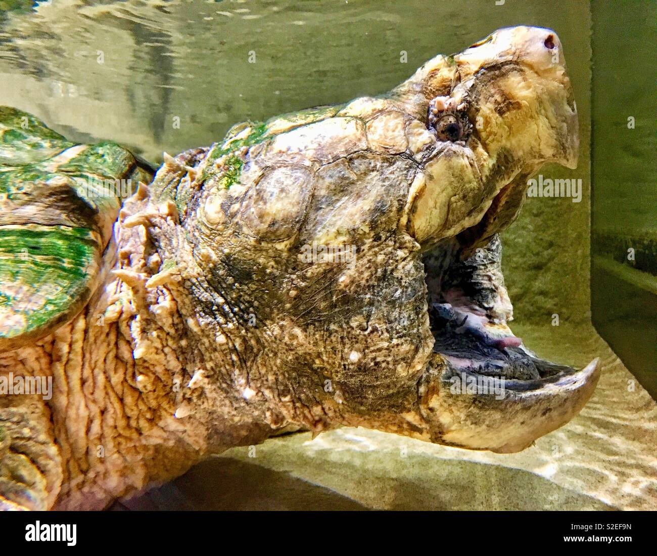 Alligator snapping turtle with wide open mouth and pointy beak - Stock Image