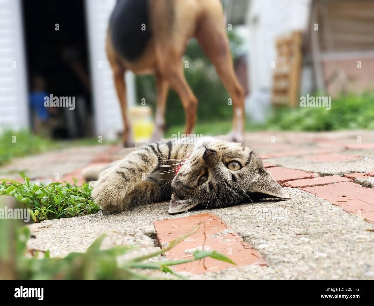 Diva cat - Stock Image