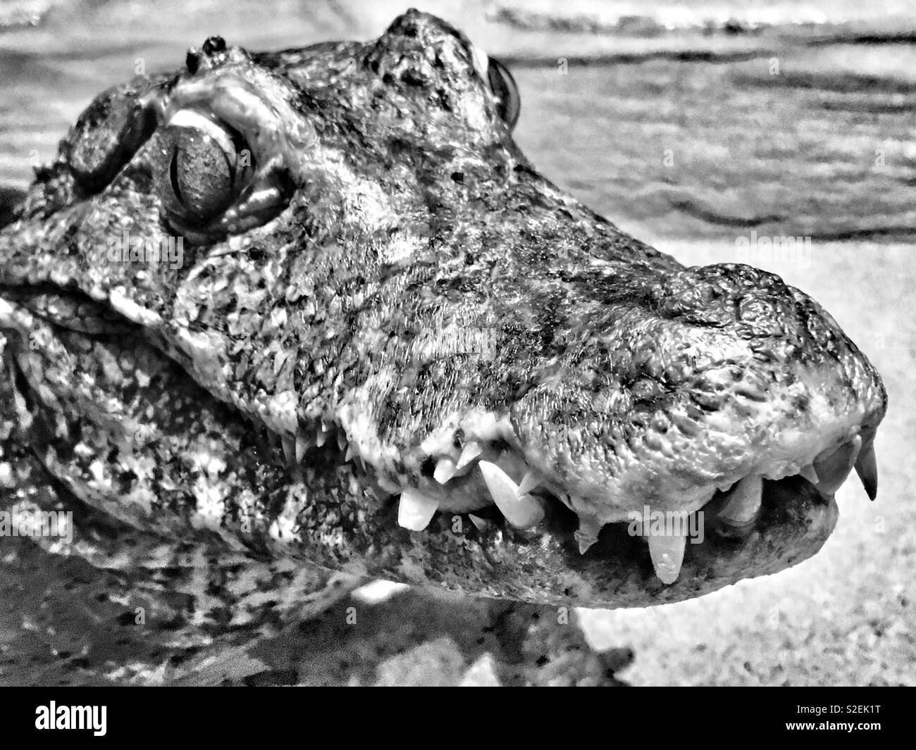 Dwarf caiman with toothy grin and vivid brown eyes with slit pupils smiling at viewer while sitting in water - Stock Image