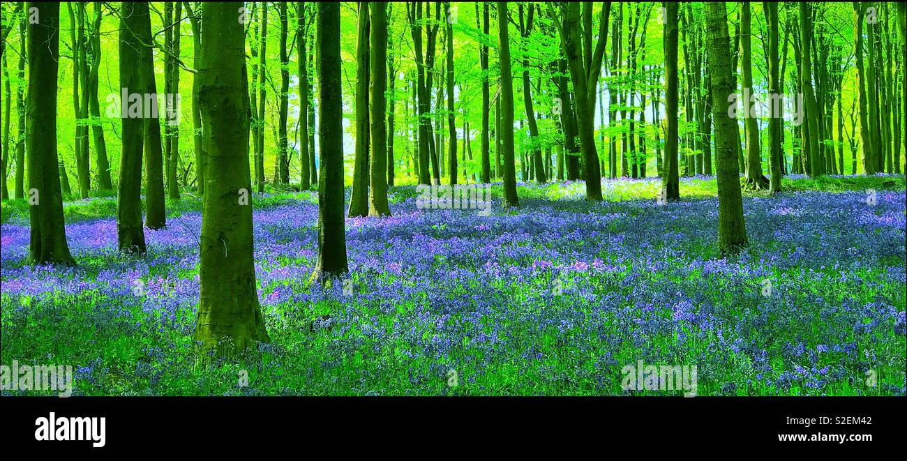 A view of an English woodland in Springtime. The famous and popular Bluebell flowers (Hyacinthoides non-Scripta) are in full bloom. An iconic landscape scene. Photo © COLIN HOSKINS. - Stock Image
