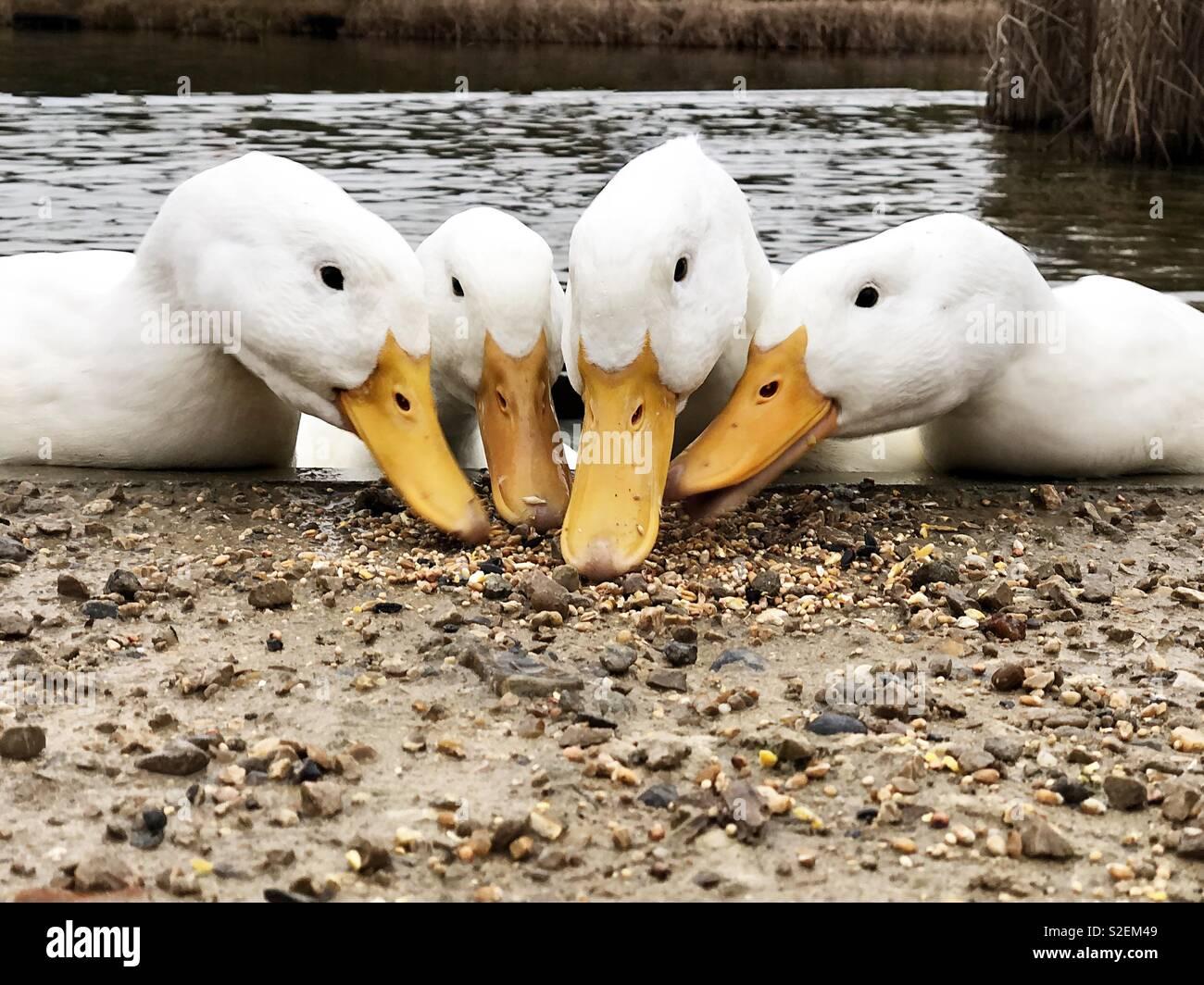 Four heavy white AmericanPekin ducks with orange beaks together - Stock Image