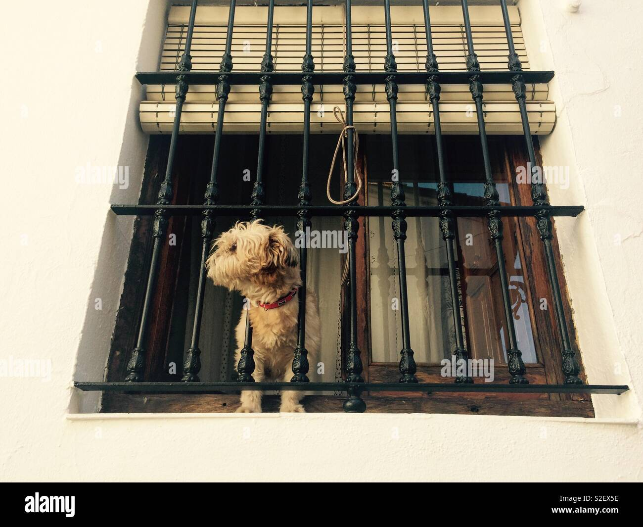 Small brown dog standing at window with head poking through wrought iron burglar bars in Spanish village street - Stock Image